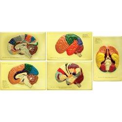 """Барельефная модель """"Доли, извилины, цитоархитектонические поля головного мозга"""" (5 планшетов)"""